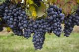 California Merlot Grapes