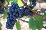 California Petit Syrah Grapes