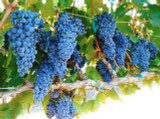 California Sangiovese Grapes