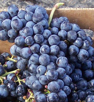 Cabernet Franc Grapes