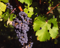 California Cabernet Sauvignon Grapes