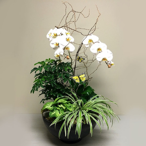 Sympathy Orchid Flower Plant in Vancouver BC | Adele Rae