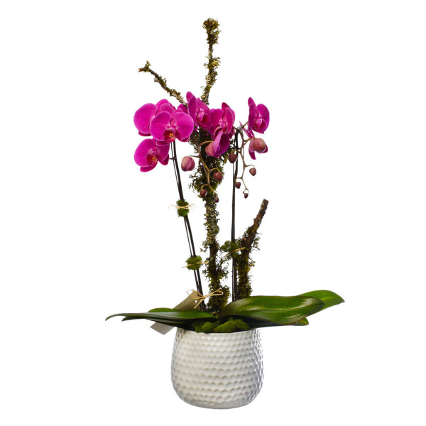 Orchid dish garden plant in a white ceramic pot in Burnaby from Adele Rae Florists