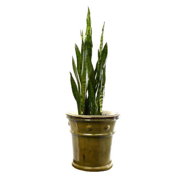Interior design planter with snake plant for Vancouver delivery | Adele Rae Florist