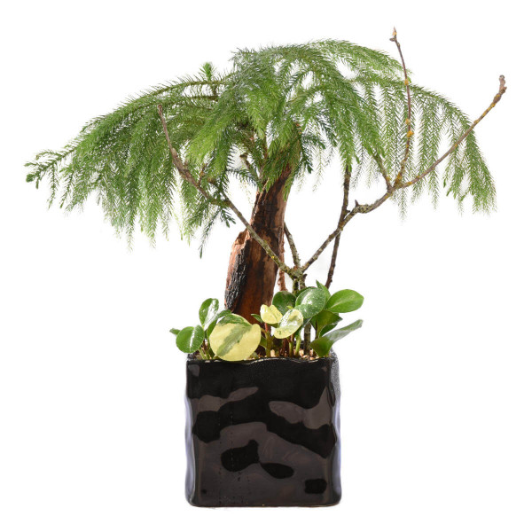 Beautiful Bonsai Delivery Burnaby BC | Adele Rae Florists
