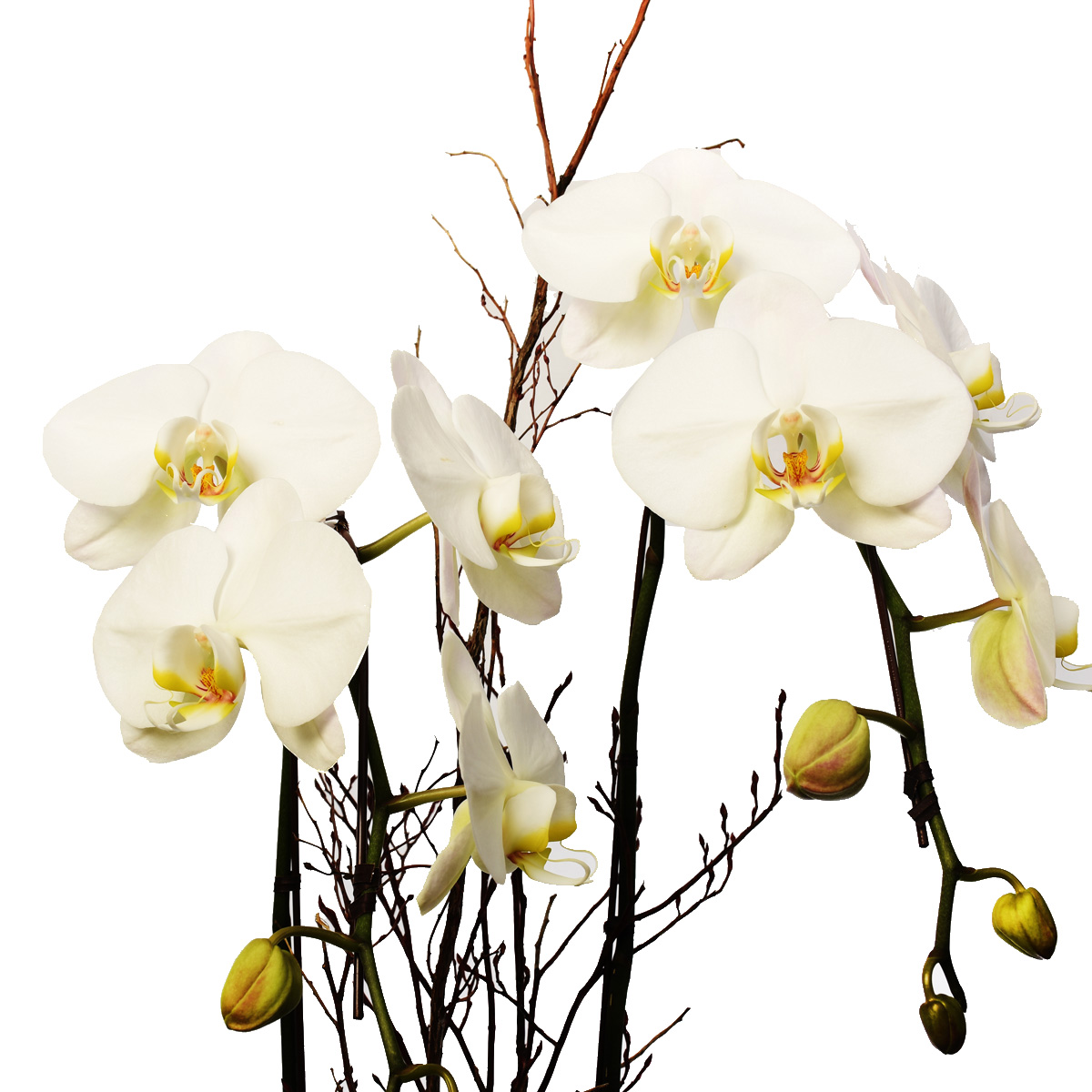 Orchid plants for sale in Vancouver flower shop Adele Rae