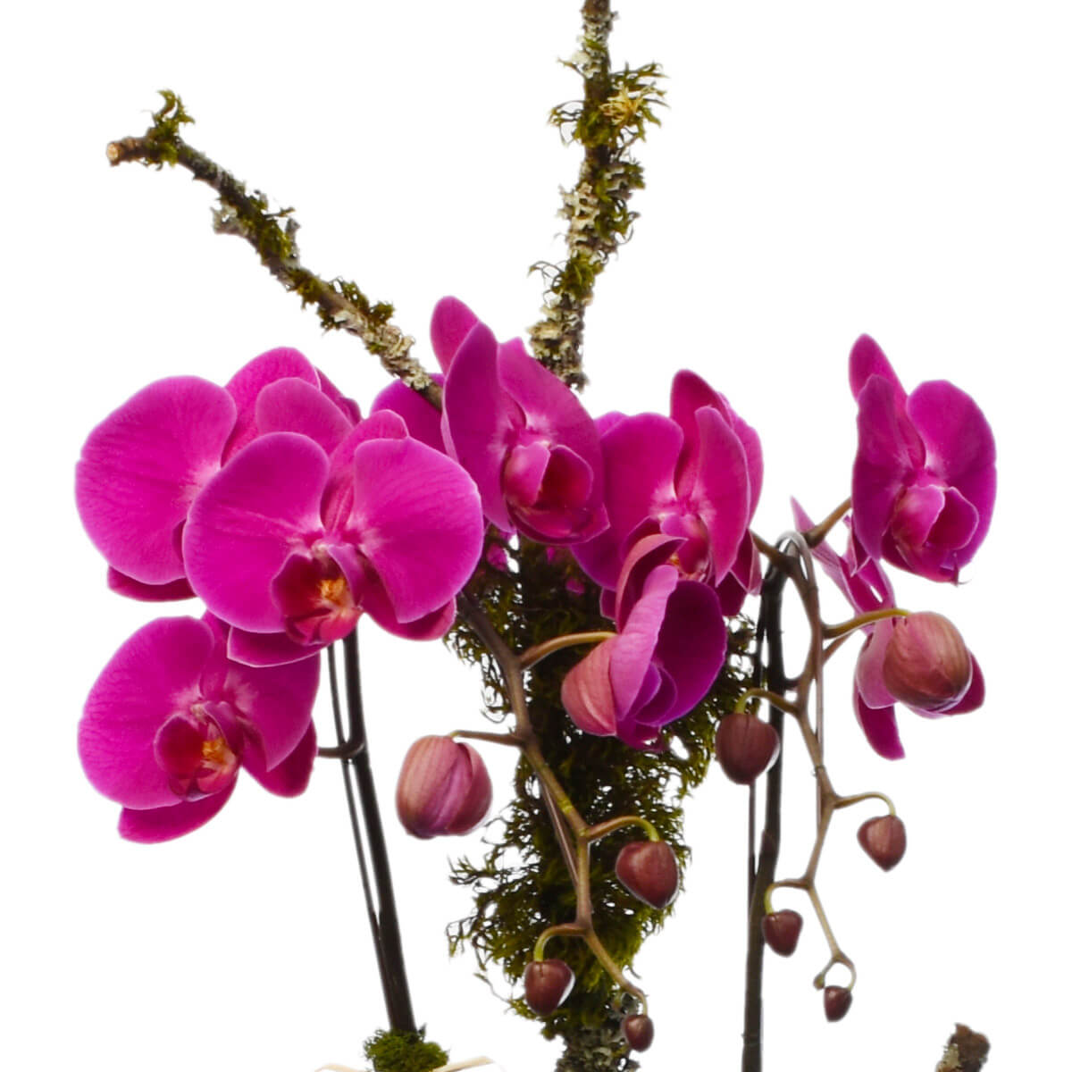 Orchid indoor plants for Vancouver BC Delivery | Adele Rae