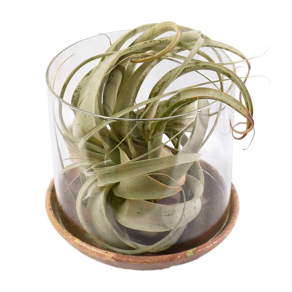 Vancouver Air Plant Delivery - Tillandsia - Adele Rae Floral and Plant Shop