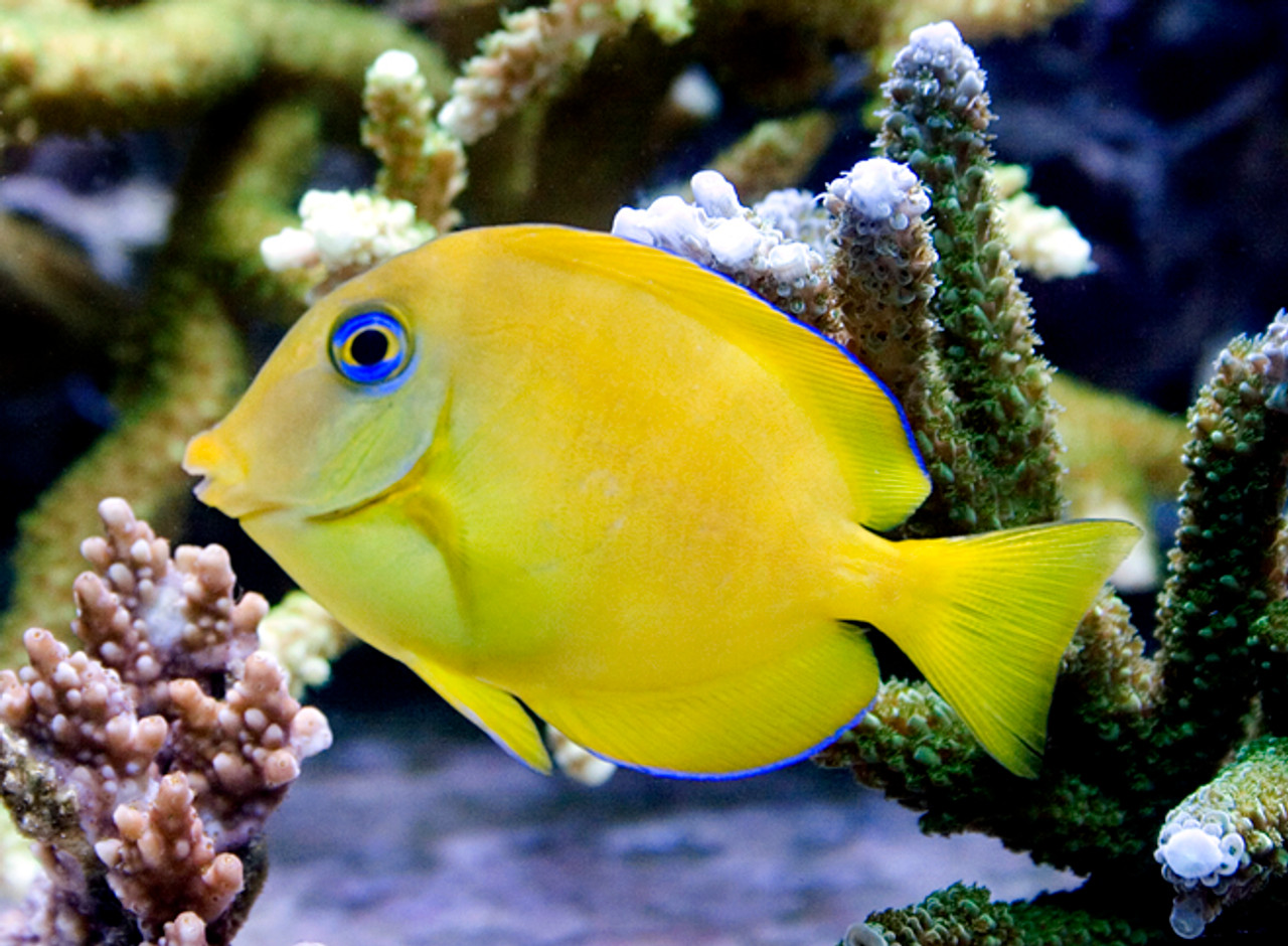 blue tang small juvenile 1 2 5 inch salt water fish store store
