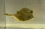 Honeycomb Cowfish Large (5-8 inches)
