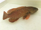 Strawberry Grouper (5-8 inches)