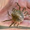 Gorilla Crab