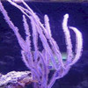 Purple Whip Gorgonian for sale.