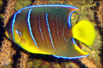 Blue Angelfish (Medium 3-5 inches)