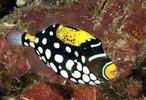 Clown Triggerfish  (medium 3.5 inches)