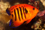 bright red/orange angelfish with blue stripes