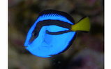 Blue Hippo Tang Small