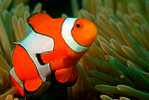Percula Clown Fish