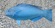 Blue Parrot (XL 8-10  inches)