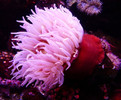 Haitian Pink Tip Anemone are also called pink tip condy.