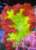 Caribbean flower anemone