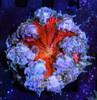 ultra rock flower for sale