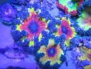 bullseye anemone