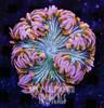 pink ultra rock flower