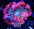 Popping Pink Pin Stripe  Ultra Rock Flower Anemone
