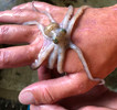 Atlantic Long Arm Octopus (Large)