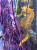 Colored Seahorse