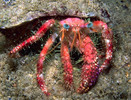 Hermit Crab (Large 3-5 inches)