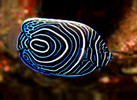 Emperor Angelfish (2-3 inches)