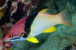 Coral Hogfish (Adult)