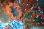 Rock Anemone 3 Pack (1 Green, 1 Red, 1 Common)