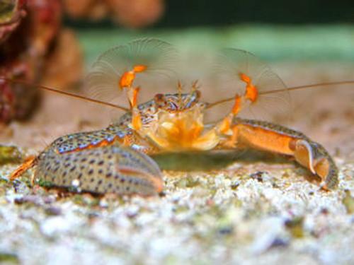Porcelain Crab (3 pack)