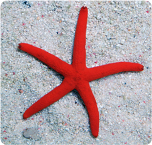 Orange Linckia Starfish