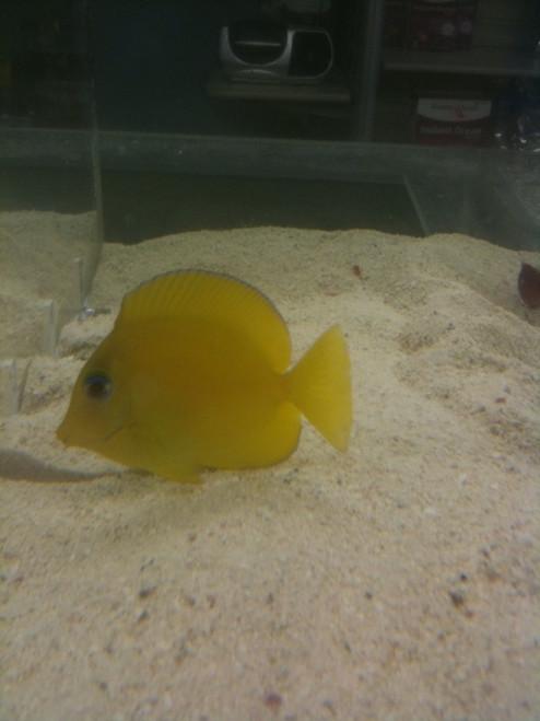 Atlantic Blue Tang (Small) juvenile 1-2.5 inch