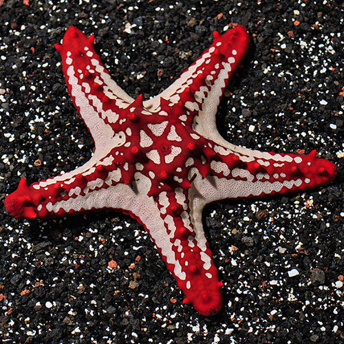 African Starfish (Large)