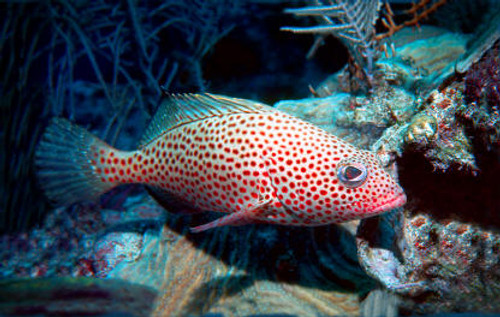 Strawberry Grouper LG (5-8 inches)
