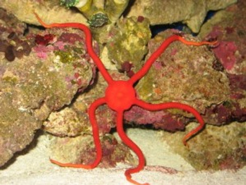 Red Serpent Starfish (8-10 inches)