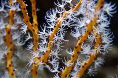 Yellow Finger Gorgonian for sale at Foxy Saltwater Tropicals. Yellow gorgonian coral from the Caribbean.