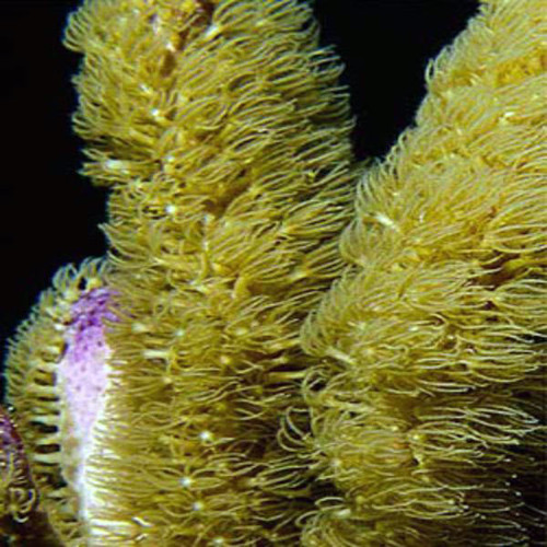The Corky Sea Finger also called a corky finger gorgonian is for sale at Foxy Saltwater Tropicals. It's scientific name is briareum asbestinum and is a perfect addition to any saltwater reef tank.