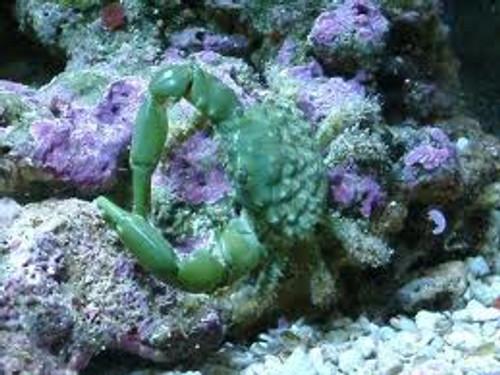 Emerald Crab 5 pack