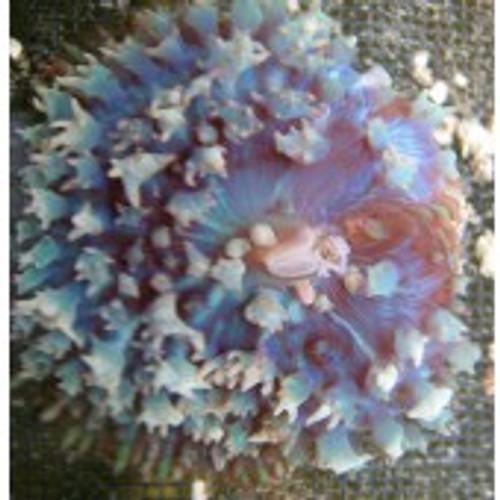St. Thomas Mushroom- Sky blue or Aqua Blue