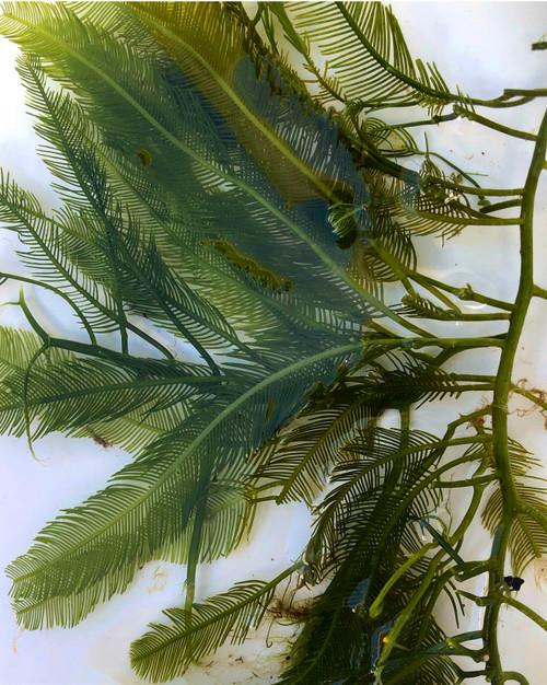 Feather Caulerpa