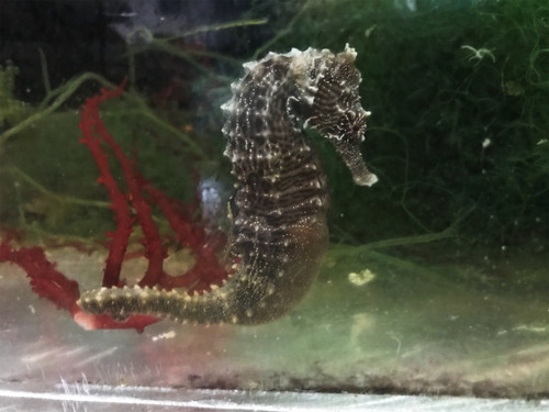 Common Seahorse Pair- The Male is Pregnant