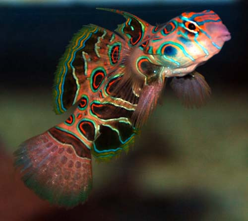 Spotted Mandarin Goby