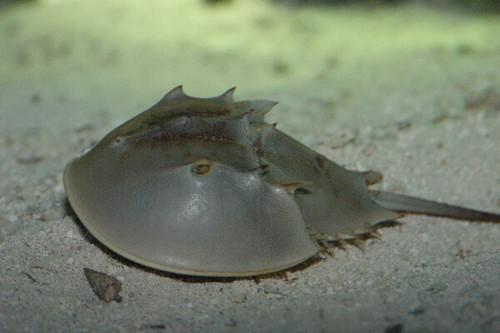 Horseshoe Crab (1-3 inches)