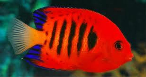 flame angelfish for sale at Foxy Tropicals